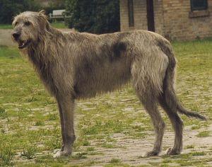 IrishWolfhound1